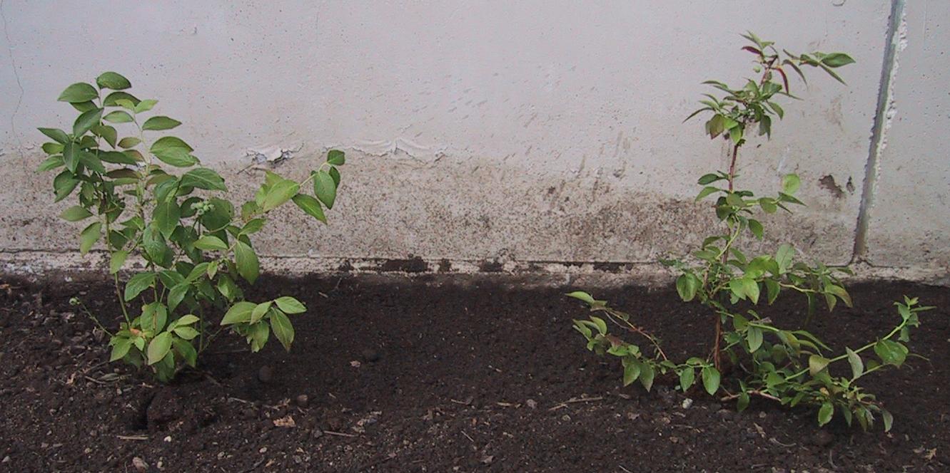 Hageblåbær planting